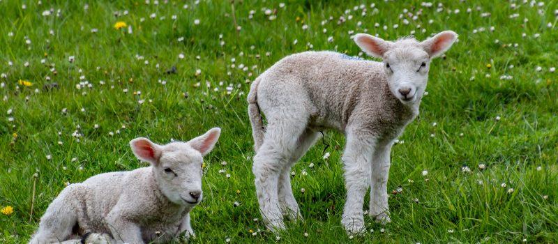 sheep-4168631_1920